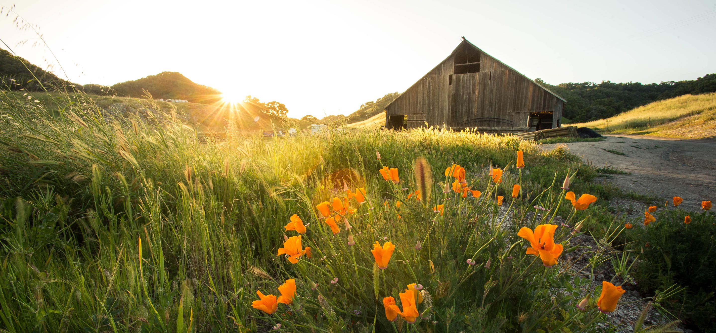 A field of poppies and an old barn during sunset